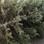 Christmas Tree Recycling in College Station, TX